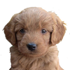 Little Paws of Iowa - Family-raised puppies for your home