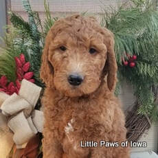 Little Paws Of Iowa Family Raised Puppies For Your Home Home